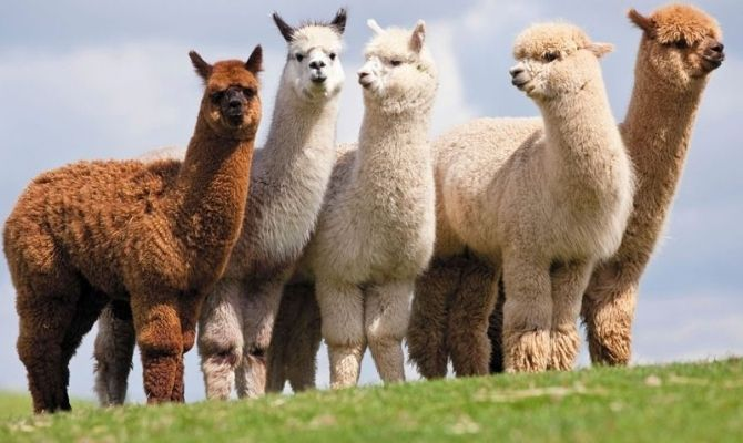 Things to Do in Cape May Jersey Shore Alpacas